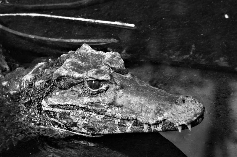 Close-up of crocodile in the lake