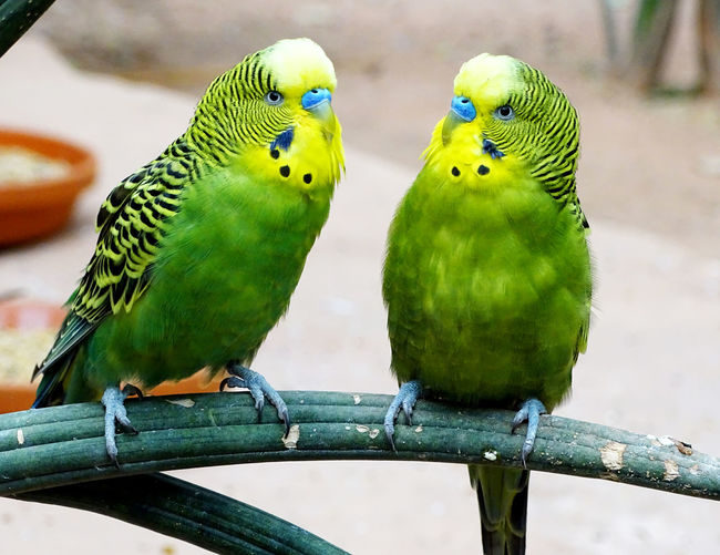 Budgerigar Bird Animal Themes Animals In Captivity Close-up Togetherness Nature Birds_collection Birds Of EyeEm  Bird Photography Amimal Animal Photography EyeEm Best Shots EyeEm Gallery