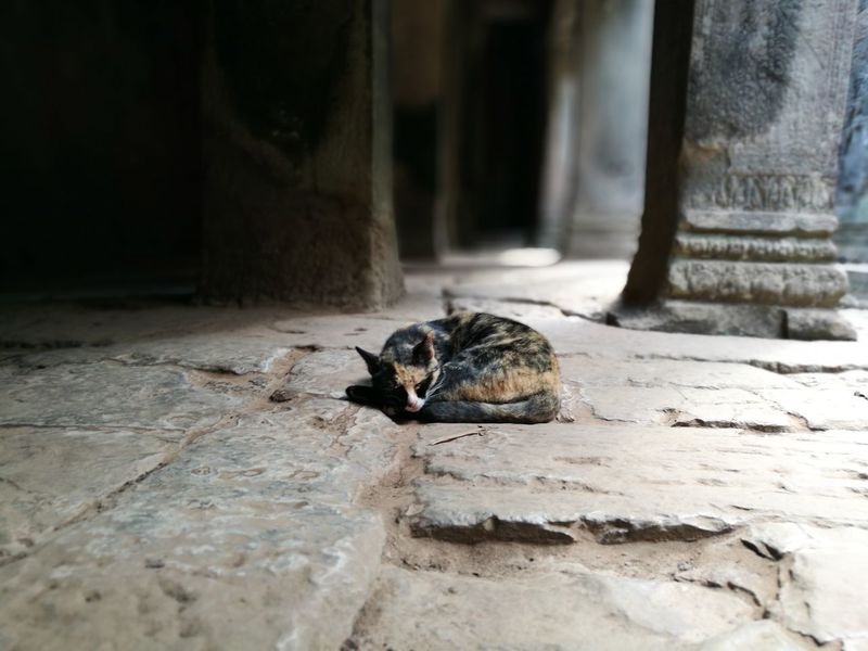 Guardian of The Bayon Bayon Angkor Thom Cambodia Tombraider Tombraidertemple Cat Slumber Ruins Temple UNESCO World Heritage Site Cultures Religion History Leicagraphy Leicaexplorer HuaweiP9 Travel Travel Destinations One Animal Animal Wildlife Animals In The Wild No People Animal Themes Day