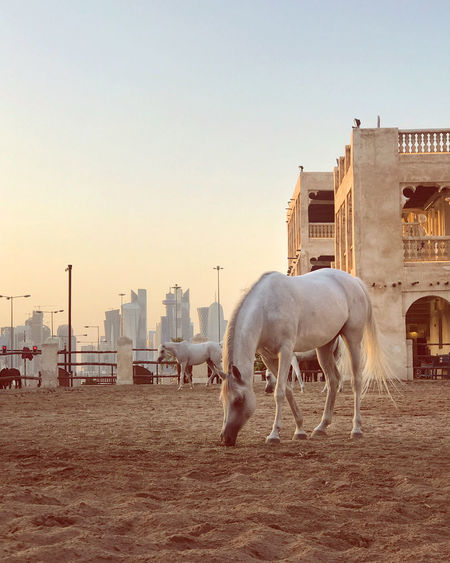 Horses in a city