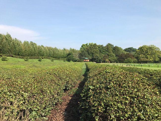 Greentea Nature Green Color Day Outdoors Hiking Travel Japanese Culture Japanese Style Field Farm Okayama