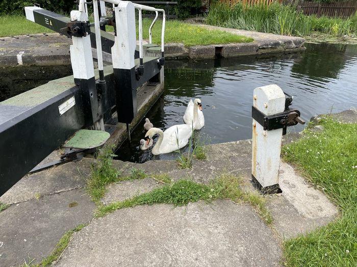High angle view of swans on lake