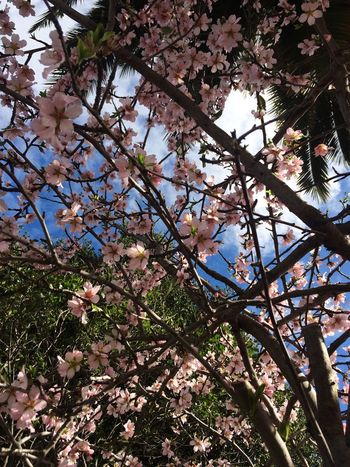 On Valentines day I took this gorgeous picture of a cherry blossom flower Nature Flower Beauty In Nature Tree No People Outdoors Branch Blossom Close-up Plant Daytime (null)Cherry Blossom Viewing Cherry Blossom Cherry Blossoms Pink Color Light Pink Pink Light Blue Sky Cherry Blossom Tree Day Beauty In Nature Nature The City Light Millennial Pink The Great Outdoors - 2017 EyeEm Awards Live For The Story Perspectives On Nature