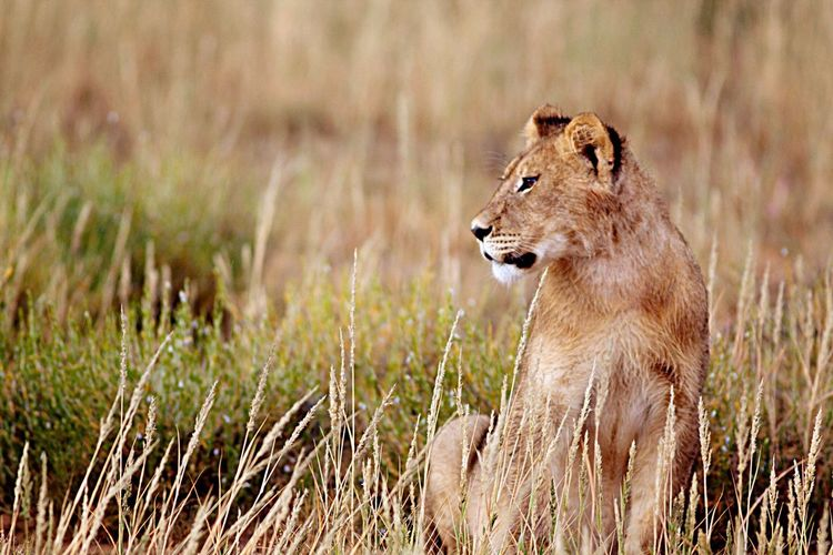 Lioness sitting on field