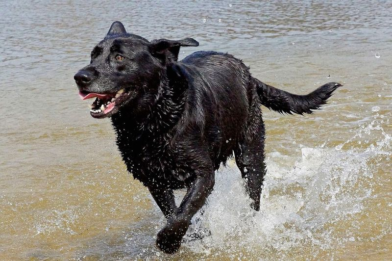 Big D Runs Free Dogs Of EyeEm Dog Photography Dog Playing Black Lab Bow Wow Beach Mans Best Friend Women Too EyeEm Gallery Eye4photography  Fine Art Photography Pet Photography  Best Damn Dog Ever Humble Opinion Taking Photos Rescue Dog Rescued Me Canine Photography
