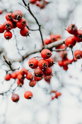 Red berries growing on tree