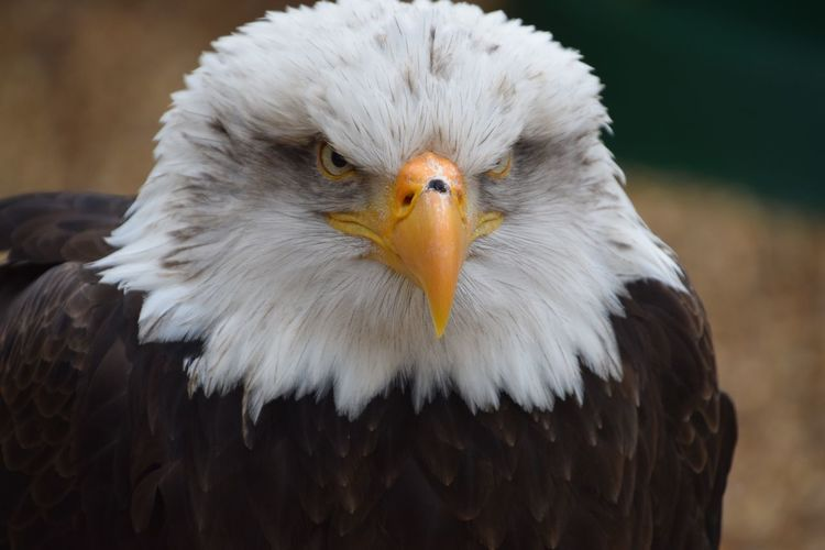Eagle Bird Bird Of Prey Animal Body Part Close-up One Animal Feather  Animal Wildlife Beak Bald Eagle Outdoors Animal Themes