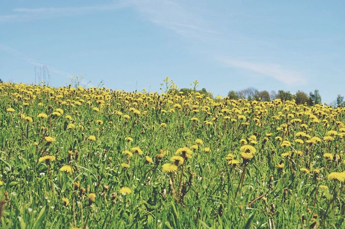 Flower Field Outdoors Yellow Growth Nature Plant Beauty In Nature Rural Scene Sunflower Sonnenblume Wiese  Grass Upperaustria Austria Österreich