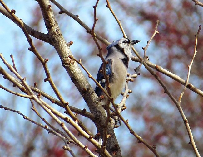 Low angle view of blue jay perching on tree
