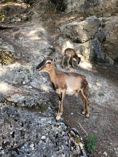 EyeEmNewHere Mufflon Rock Animal One Animal Animal Themes Mammal No People Day High Angle View Nature Outdoors