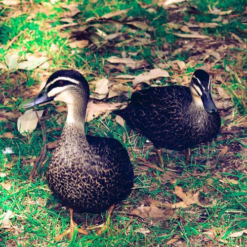 Duck tales Grass Outdoors EyeEm Selects Photography EyeEm Gallery EyeEm Picoftheday Animal Themes Bird Animal Group Of Animals Animals In The Wild Animal Wildlife Vertebrate No People Field High Angle View Plant Poultry Nature Two Animals Young Animal Young Bird Land Day Grass Duck