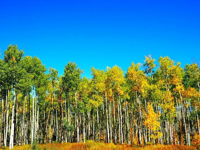 Aspen Aspen Trees Fall Vacation Hiking Blue Sky Colorado Rocky Mountains