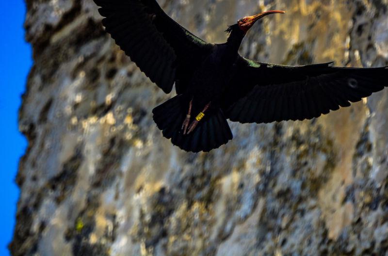 Ibis Eremira