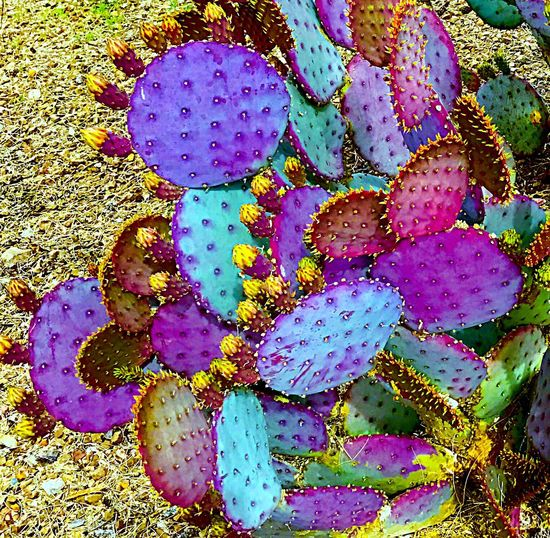 Multi Colored Nature Growth Fragility Beauty In Nature Outdoors No People Flower Close-up Day Flower Head Cactus Check This Out EyeEmNewHere EyeEm Gallery Ceedubslens