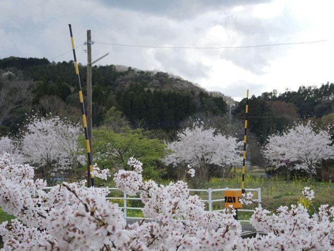 里見駅 小湊鉄道 さくら Nikon P7700