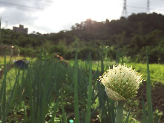 scallion flower. Spring Onion Green Onion Scallion Plant Growth Focus On Foreground Nature Beauty In Nature Green Color Day Flower