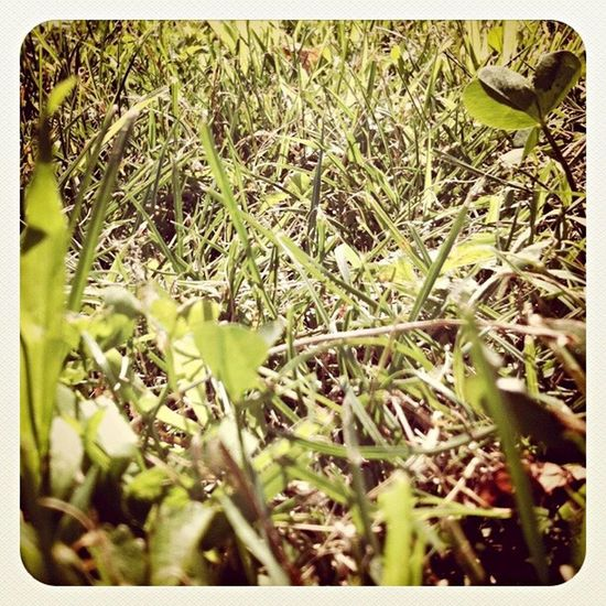 Erba Green Quadrifoglio Intothewild Ant