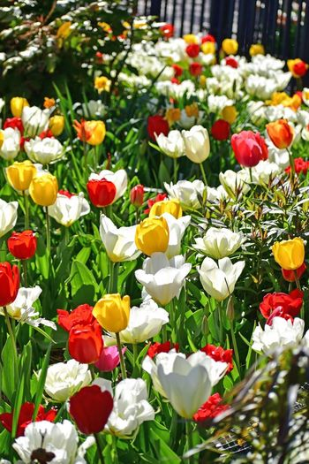Flowers Tulips Flowering Plant Flower Plant Vulnerability  Fragility Freshness Beauty In Nature Flower Head Growth Petal Multi Colored No People Nature Close-up Botany Tulip White Color Inflorescence