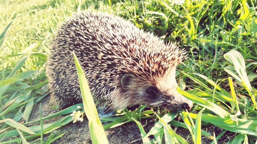 First Eyeem Photo The Hedghog Beauty Beauty In Nature Nature