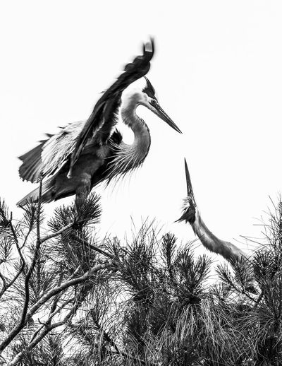 Animal Themes Animal Wildlife Animals In The Wild B&w Photography Bird Clear Sky Day Heron Herons On Nest Low Angle View Nature No People One Animal Outdoors Perching Sky White Stork