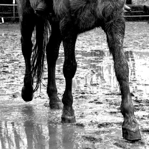 Domestic Animals Animal Themes Animal Body Part One Animal Water Mammal Low Section Animal Leg Outdoors Nature Horizontal Motion Day No People Close-up Monochrome Photography Horse Puddle Mud Black And White Blackandwhite Black & White Black And White Photography