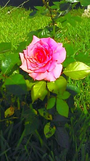 Hello World Taking Photos Relaxing Enjoying Life Pink Rose Beautiful Flower Roses, Flowers, Nature, Garden, Bouquet, Love, Love Nature Flowerlovers Roses Are Pink Yardart Single Rose Green Leaves Grassflowers