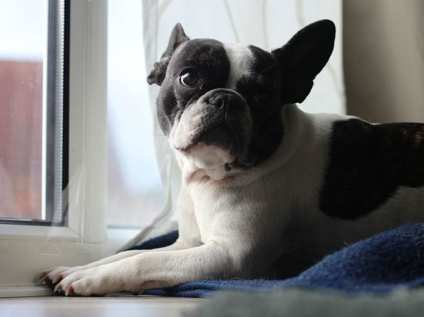 80d Bulli Bully Canon 80D Canon Eos 80d Canonphotography Cute Dog  Dog Lying On Floor Dog Portrait Dogs Of EyeEm Eos 80d Französische Bulldogge  French Bulldog Frenchbulldog Frenchie Grumpy Dog Grumpy Face Grumpydog Hundeportrait Indoors  Looking Back Lying Down Sweet Dog