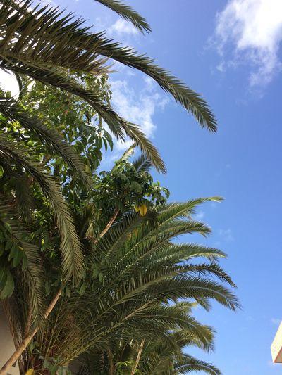Fuerteventura Palm Tree Blue Sky Tree Sommer Sunny Day Clear Sky