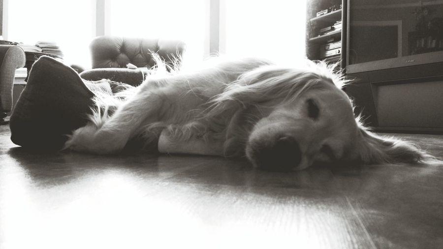 Buddy Sleeping Dog Goldenretriever