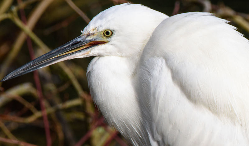 Egret close-up. Taken at Lackford Lakes, Suffolk, UK, November 2017 Bird Photography Birds Of EyeEm  Birdwatching Egrets Animal Wildlife Animals In The Wild Beak Bird Birds Birds_collection Close Up Close-up Egret Egret In Lake Focus On Foreground Nature One Animal Water Bird Water Bird Close-up Water Bird Collection Water Bird On Land Water Birds White Color Wild Bird Wild Bird Collection