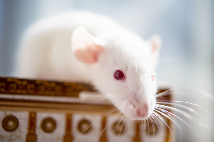 White rat with red eyes
