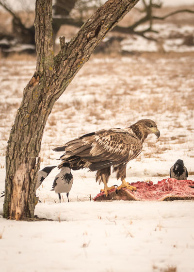 Common buzzard on meat by gray crows on snow covered field