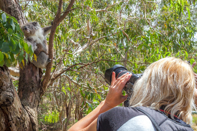 Rear view of woman photographing koala using camera in forest