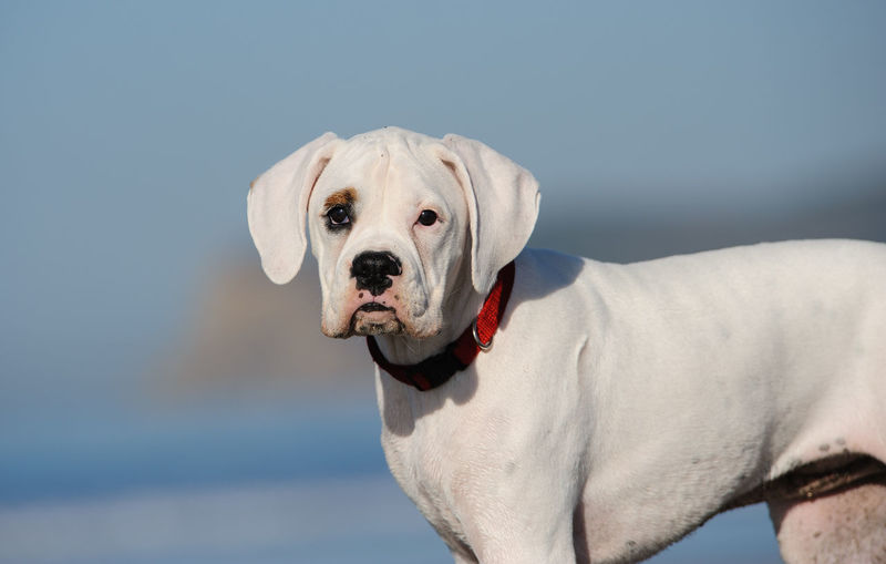 White Boxer puppy dog Boxer Dog May Puppy White Canine Pets Domestic Domestic Animals One Animal Animal Themes Looking At Camera Animal Body Part White Color Purebred Dog Animal Head  No People Day Sky Looking Portrait