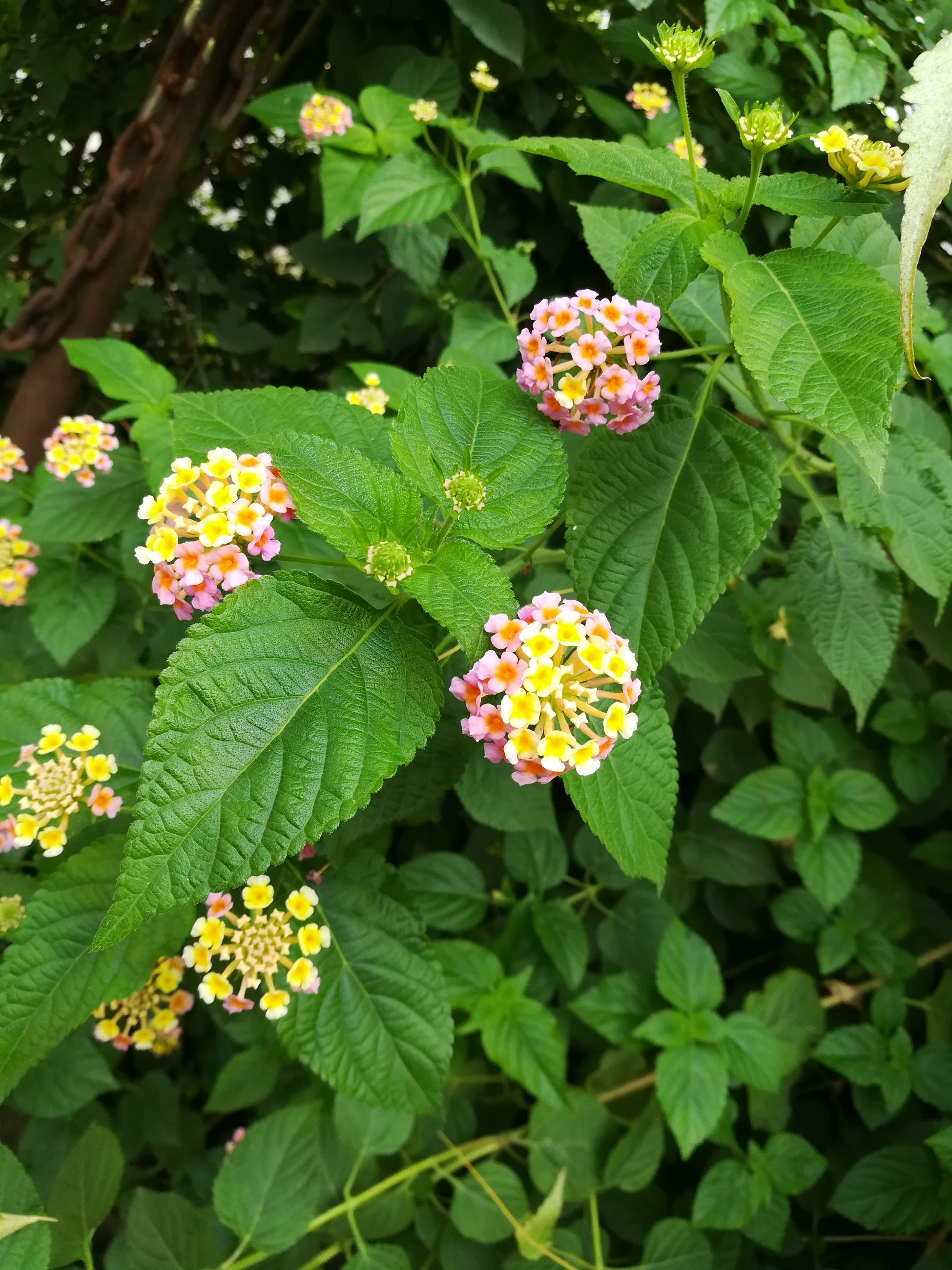 green color, leaf, flower, growth, freshness, fragility, lantana camara, plant, beauty in nature, nature, park - man made space, blooming, no people, flower head, day, outdoors, petal, close-up, zinnia