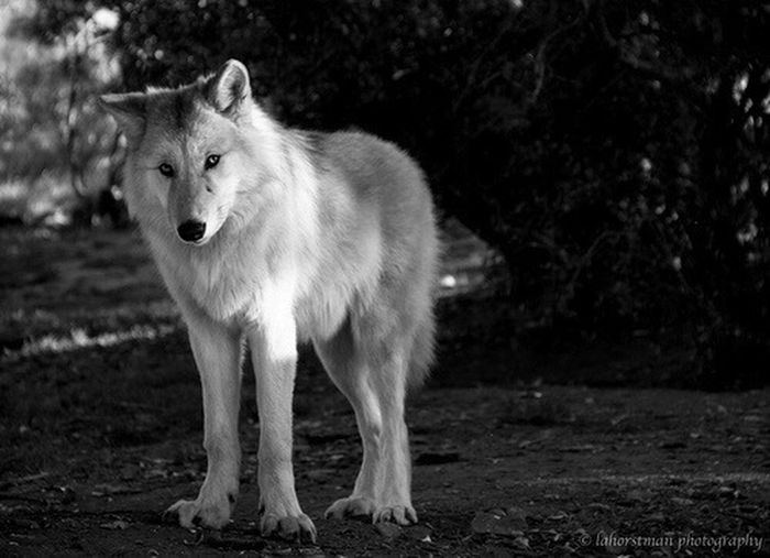 Wolves one of much things that i love. Graywolves