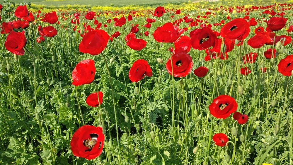 No filer. No edit. Just admiration of the filters the mother nature applies. Poppy Red Flower Full Frame No People Fragility Grass Beauty In Nature Freshness Close-up Nature Flower Head Outdoors Springtime Spring Flowers Brightcolours Wickitravels To  Northofisrael