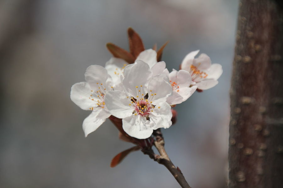 Nature Flower Head Close-up Beauty In Nature Plant Almond Tree Flower Tree Blossom Growth Outdoors No People Fragility Pollen Freshness Day Plum Blossom