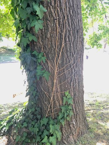Tree Plant Growth Nature Trunk Tree Trunk Plant Part Ivy No People Day Outdoors Beauty In Nature