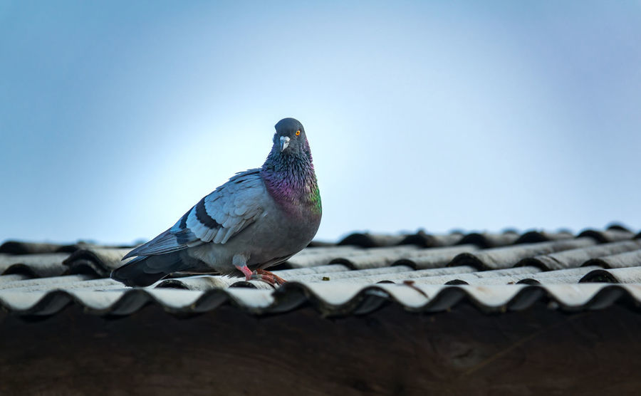 Pigeon or dove standing on roof of house Beautiful City Flock Of Birds Fly Freedon Morning Roof Standing Wildlife & Nature Animal Avian Beauty Bird Blue Sky Color Cute Doves, Birds Feather  House Pigeon Pigeon Bird  Sky Wildlife
