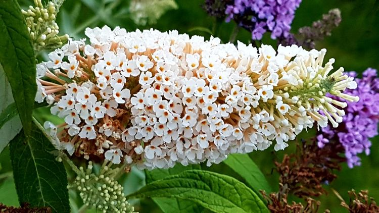 Summer Lilac Flower Nature Plant Fragility Flower Head Beauty In Nature Freshness Petal Leaf Growth Close-up Day Outdoors No People Blooming Flower Photography Softness Tenderness Outdoor Photography Garden Photography Sommerflieder