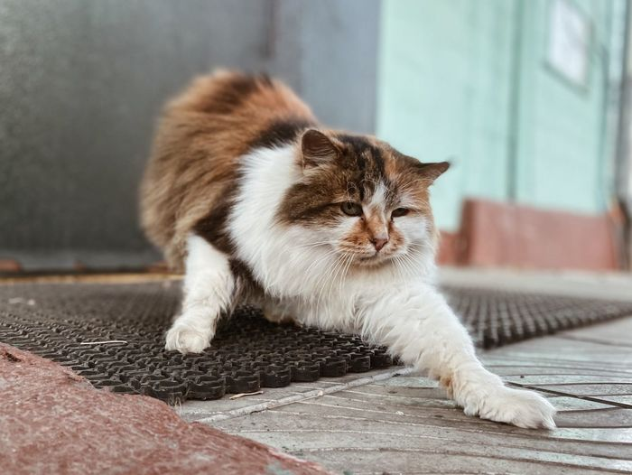 Close-up of cat stretching on doormat
