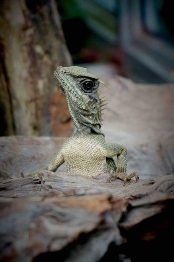 Malaysia Reptile Close-up Nature Wildlife