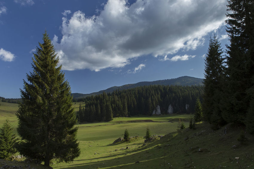 Perspectives On Nature Pine Forest Beauty In Nature Broad Perspective Cloud - Sky Day Grass Green Color Growth Landscape Nature No People Outdoors Pine Trees Scenics Sky Tranquility Transylvania💕 Tree Wide Angle Wide Angle View