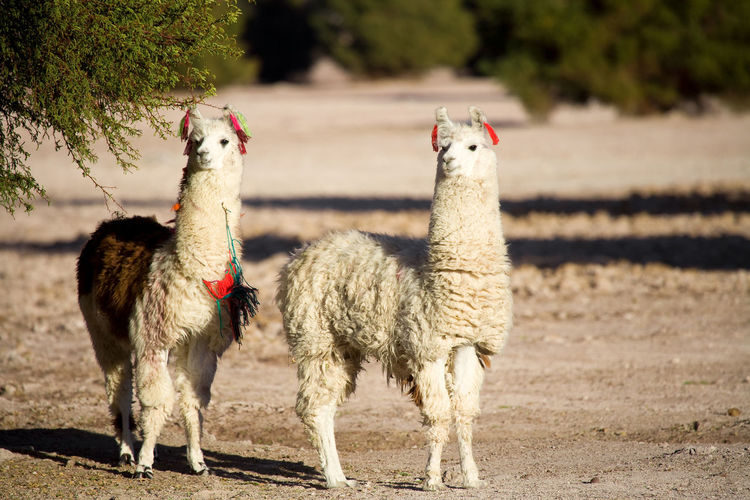 Alpacas standing on land