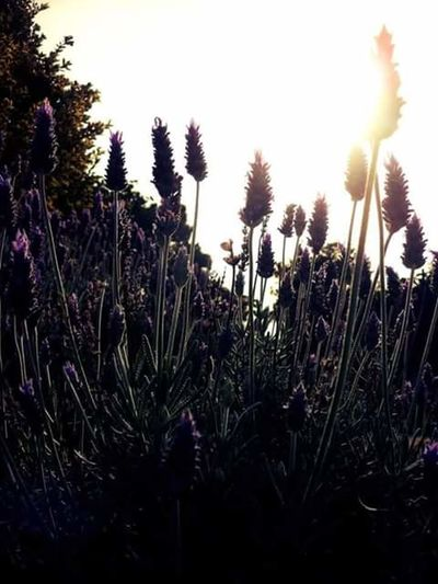 Lavanda. Sunset Silhouette Nature Time Datails Flower Lights And Shadows Colourful
