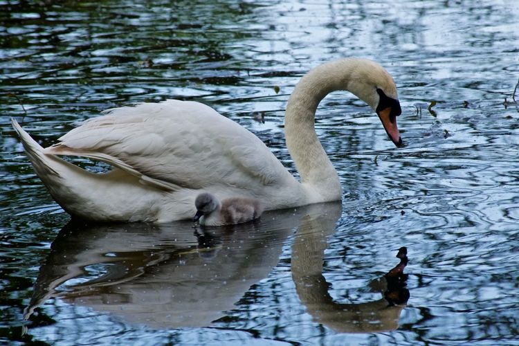 Swan And Cygnet Swimming In Lake
