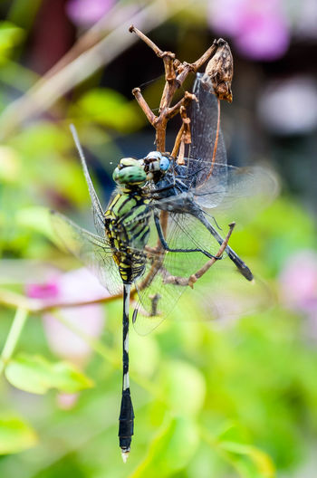 Close-up of damselflies mating on plant