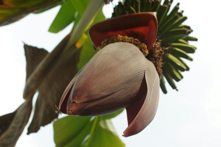 香蕉花 Fluwerporn