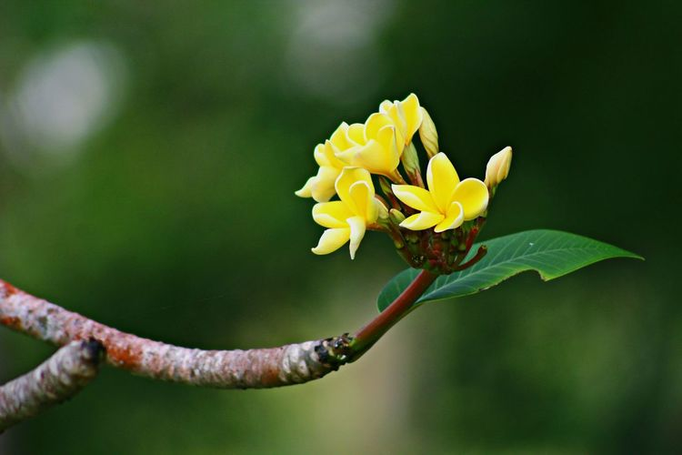 Plumeria flowers Photography Botanical EyeEm Gallery Flower Green Color Plant Leaf Nature Close-up Fragility Freshness Beauty In Nature